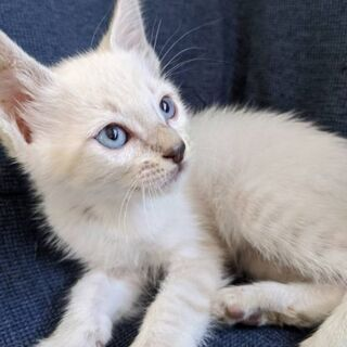 生後1ヵ月の子猫の里親を探しています 1 - 飯塚市