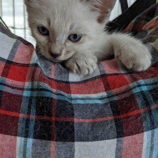 生後1ヵ月の子猫の里親を探しています 1 − 福岡県