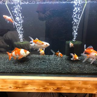 金魚数匹あげます