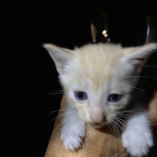 子猫 4匹 - 都城市