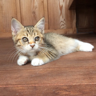 ミケ約2か月弱メス - 猫