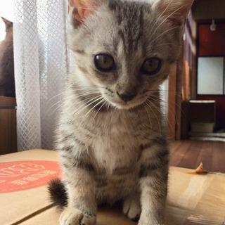 サバトラ約2か月弱メス - 猫