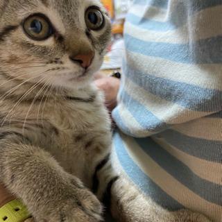 うっすらキジ柄 生後約2ヵ月半 - 猫