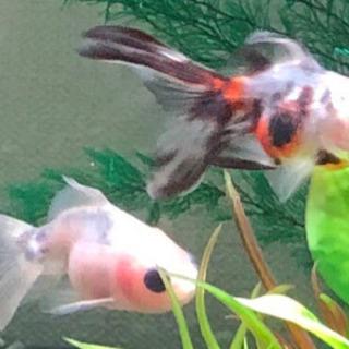 金魚2匹の里親さん募集です