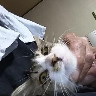 生後1ヶ月ほど。駆虫済み。飼い主不在確認済み - 猫