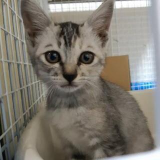 眉毛が可愛いグレー猫メス3ヶ月4兄妹
