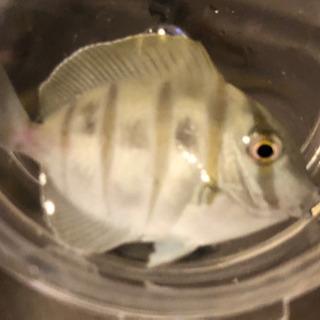 シマハギ 海水魚