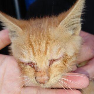 至急!生後1~2ヶ月位の仔猫ちゃんです。 - 猫