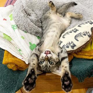 生後2か月の元気なキジトラ・オス里親募集 - 猫