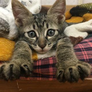 生後2か月の元気なキジトラ・オス里親募集 − 沖縄県