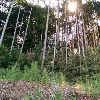 山林お譲りいたします 約60年の杉の木と檜 込み 別荘、ログハウ...