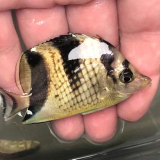 カガミチョウチョウウオ 海水魚