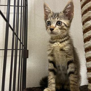 キジトラメス子猫
