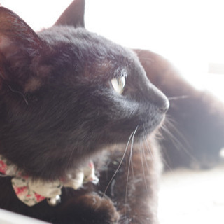 ルナちゃん(仮) 1歳の黒猫 女の子