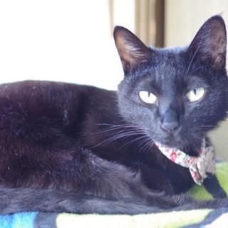 ルナちゃん(仮) 1歳の黒猫 女の子 - 里親募集