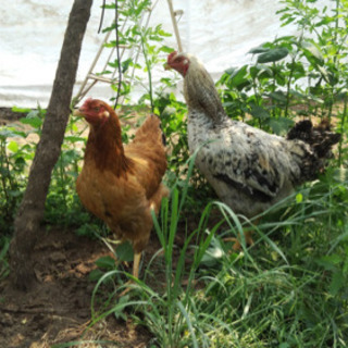 人気の地鶏&しゃものお世話をしながら、地域貢献する仕事です!