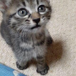 生後1ヶ月半くらいの子猫 - 里親募集