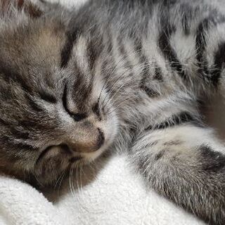 生後1ヶ月半くらいの子猫 - 猫