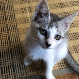 ハスキー犬みたいな子猫ちゃん