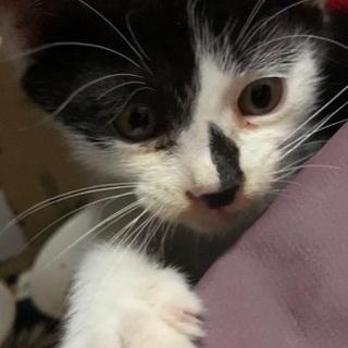 1ヶ月半くらいの子猫ちゃん - 猫