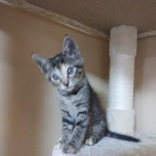 保護猫🌟里親募集 キジトラ