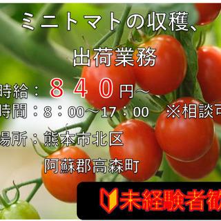 ミニトマト収穫、選別 急募!週3日程度