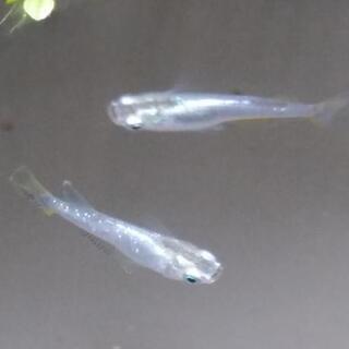 夏産まれのメダカの稚魚、幼魚 めだか