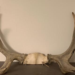 【超激レア‼︎】ヘラジカの角 北米産 アメリカ大型ムース鹿角 国...