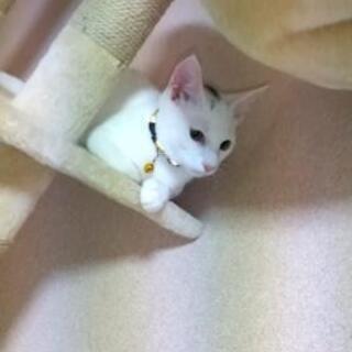 白猫、少し頭に黒い毛色あり - 下関市