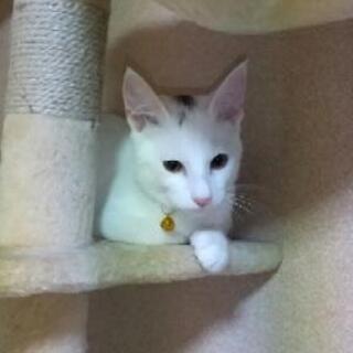 白猫、少し頭に黒い毛色あり - 猫