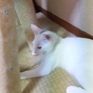 白猫、少し頭に黒い毛色あり − 山口県