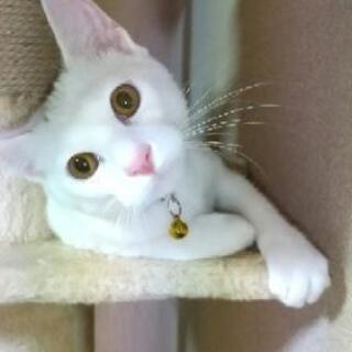 白猫、少し頭に黒い毛色あり - 里親募集