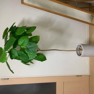 ウンベラータ 観葉植物 170cm