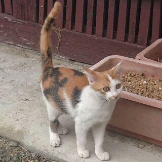 いわき市 三毛の子猫の里親募集です。 - 里親募集