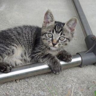 7月20日生まれ、黒トラ、の可愛い子猫です