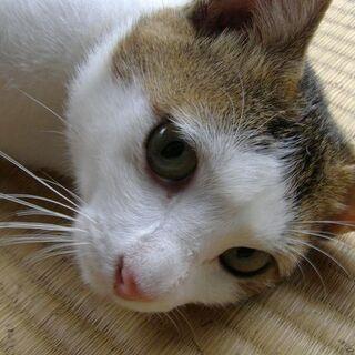 ピンクの鼻の優しい性格のオス猫です。