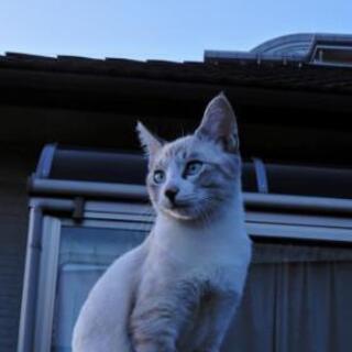 猫白血病キャリアの保護猫の里親募集します
