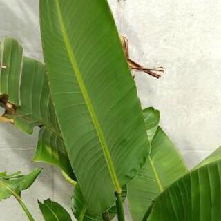 1円でさしあげます!!観葉植物 ストレリチア(ストレチア)/極楽鳥花の画像