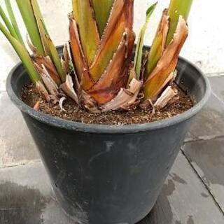 1円でさしあげます!!観葉植物 ストレリチア(ストレチア)/極楽鳥花 - その他