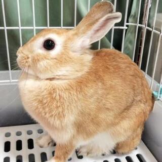 ミニウサギ 健康 7ヶ月 メスの画像
