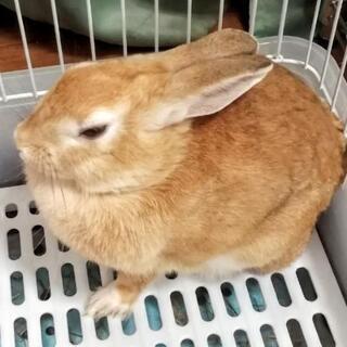 ミニウサギ 健康 7ヶ月 メス - 習志野市