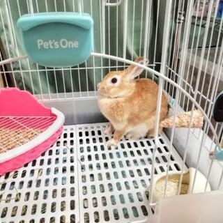 ミニウサギ 健康 7ヶ月 メス - その他