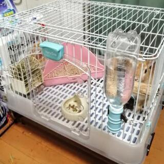 ミニウサギ 健康 7ヶ月 メス − 千葉県