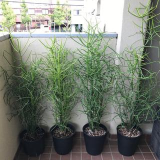 観葉植物 大型ミルクブッシュ 4鉢セット
