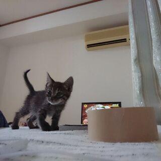 生後1ヶ月半の黒キジ子猫(♂)