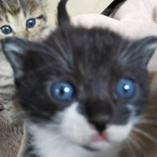 【再募集】子猫2匹里親募集🐱