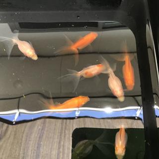 金魚 ピンポンパール 琉金