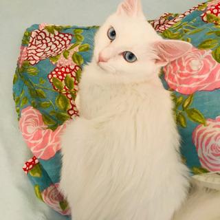 まるで芸術品💎奇跡の瞳💎白猫長毛種ブルーアイ&オットアイの4兄妹...