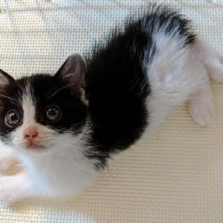 [里親募集]推定1.5 か月、♀、白黒、かぎしっぽ