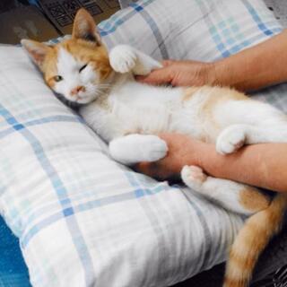 ☆まったり穏やかな性格♪甘えん坊な男の子です♪ - 猫